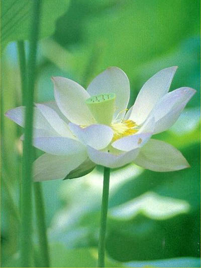 Medicinal plants lotus scientific name nelumbo nucifera gaertn mightylinksfo